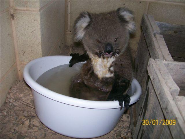 Koala Adorable Pictures Bathing in Water