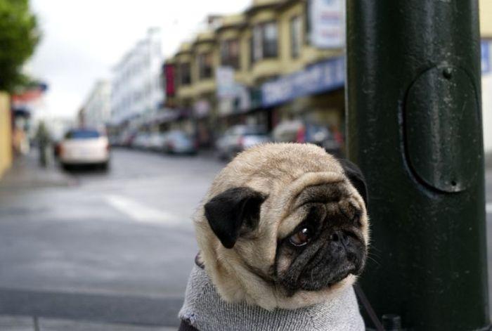 depressed-sad-pug-1