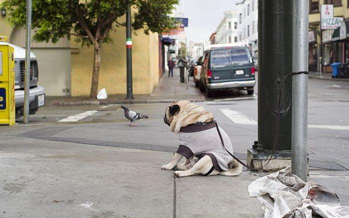 depressed-sad-pug-2