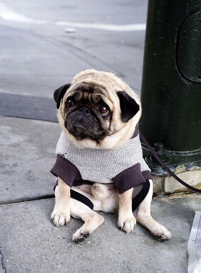 depressed-sad-pug-3