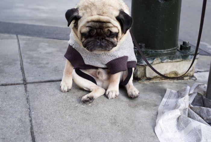 depressed-sad-pug-4