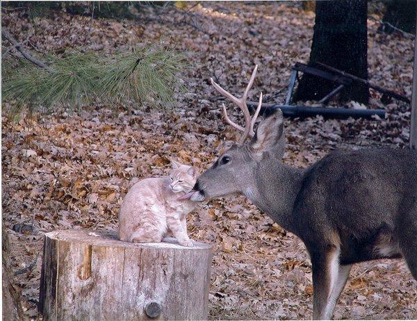 A Deer licks a cat