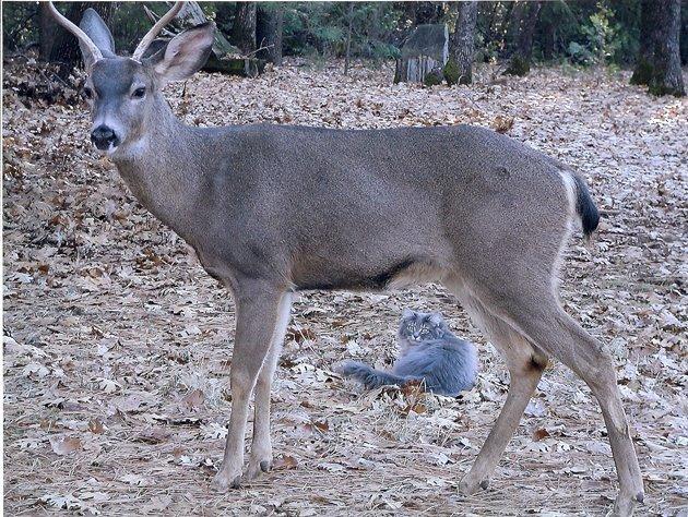 No way! A deer licking a cat!